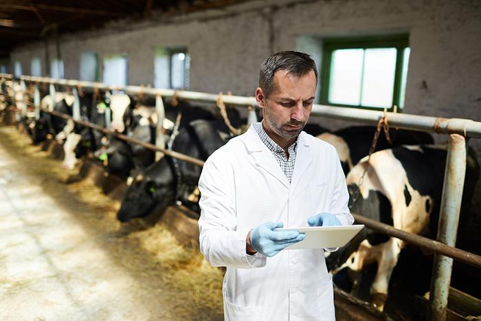 ветеринарный осмотр коров