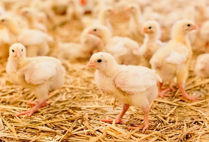 почему болеют цыплята