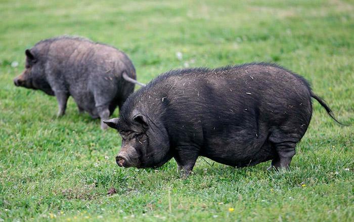вислобрюхие свиньи