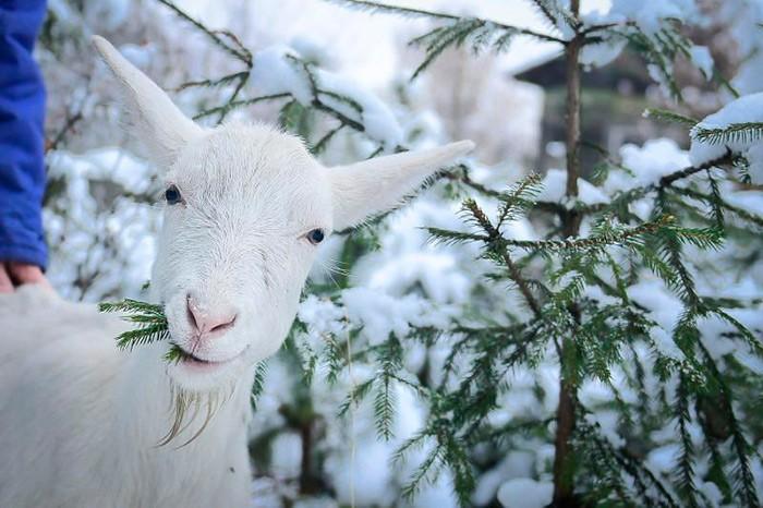 питание козы зимой