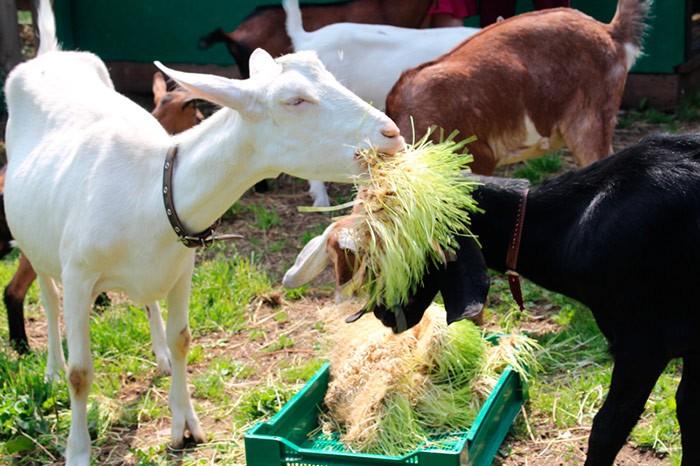 корм для козы
