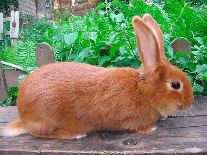 рыжий новозеландский кролик