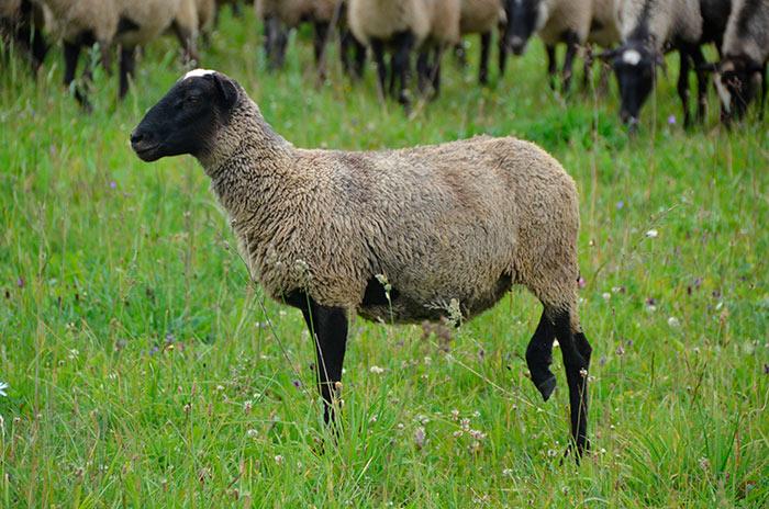 как выглядит романовская овца