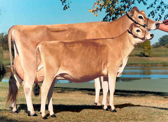 швицкая корова с теленком