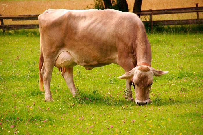 теленок швицкой породы