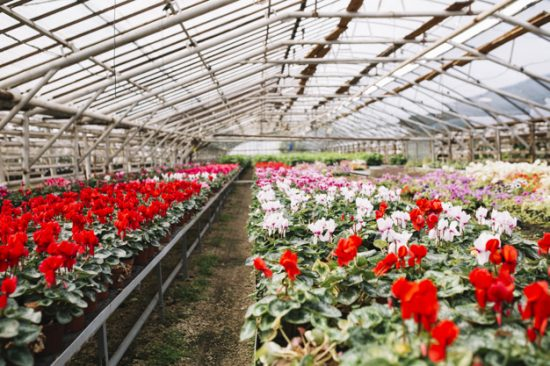 цветы в теплице на продажу