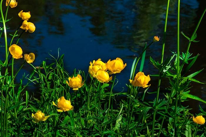 цветок купальница в природе