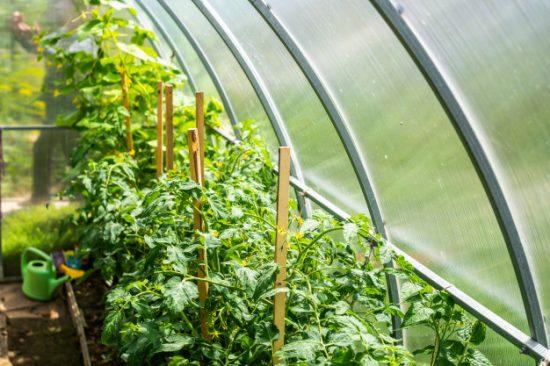 томаты в теплицу на продажу