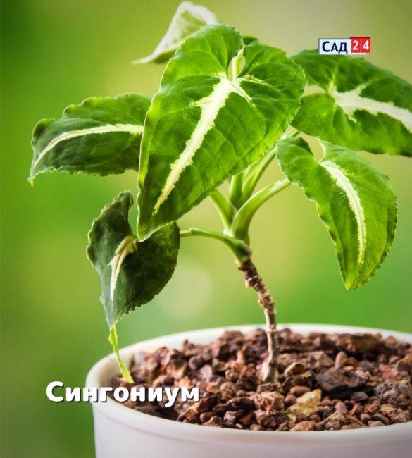 Как вырастить лиану сингониум