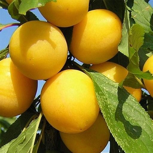 Яичная желтая
