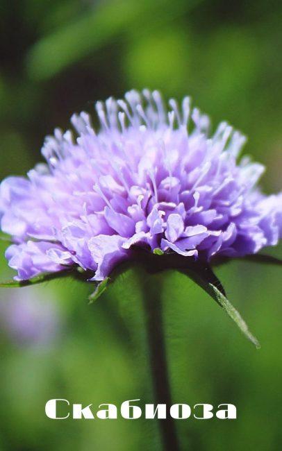 Выращивание скабиозы в саду