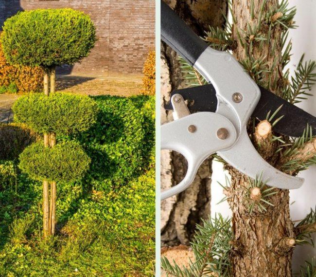 Обрезка плакучих хвойных деревьев