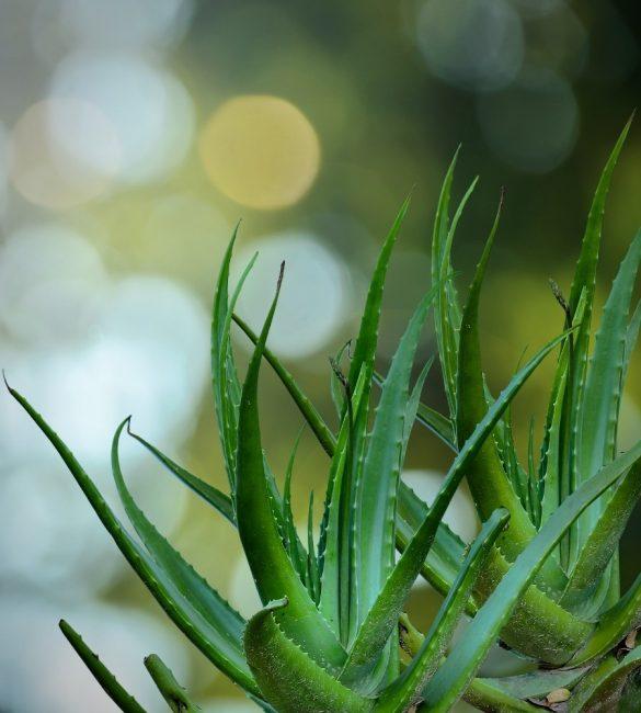 выращивание алоэ