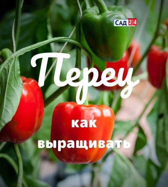 Перец болгарский как выращивать