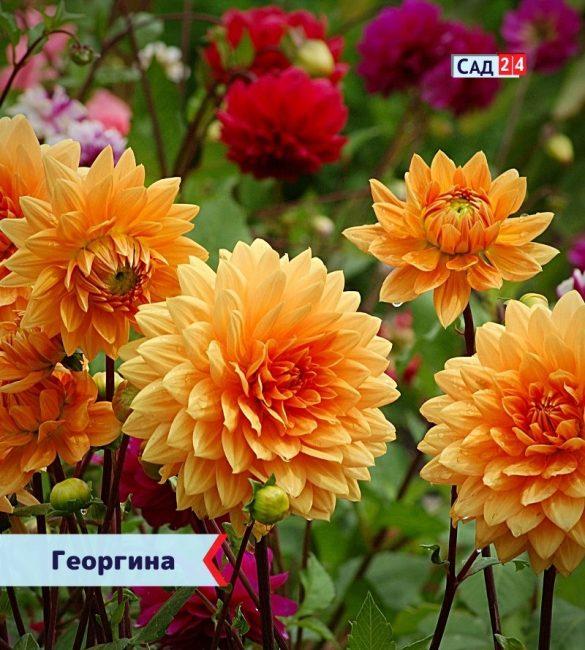 Георгина цветущие все лето