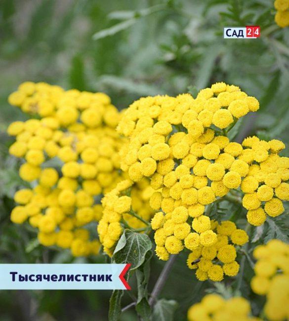 Тысячелистник цветущие все лето