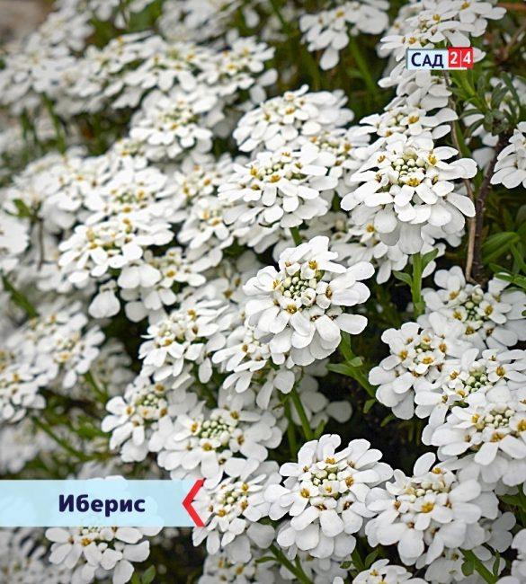 Иберис цветущие все лето