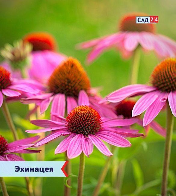 Эхинацея цветущие все лето
