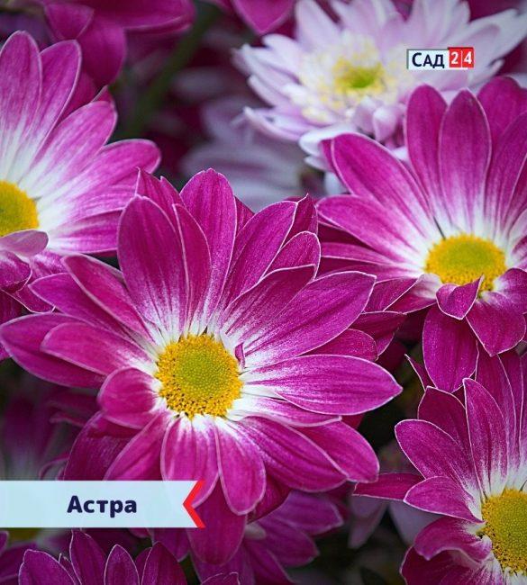 Астра цветущие все лето