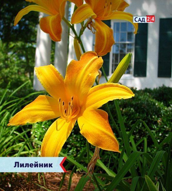 Лилейник цветущие все лето