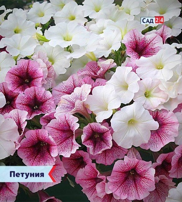 Петуния цветущие все лето