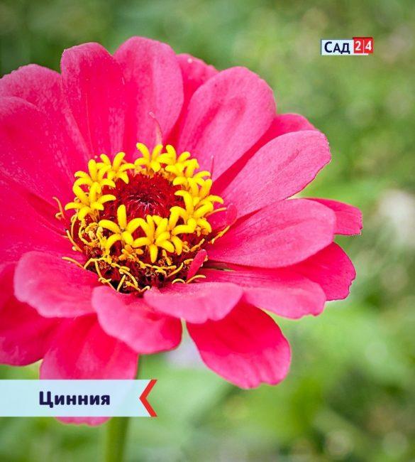 Цинния цветущие все лето