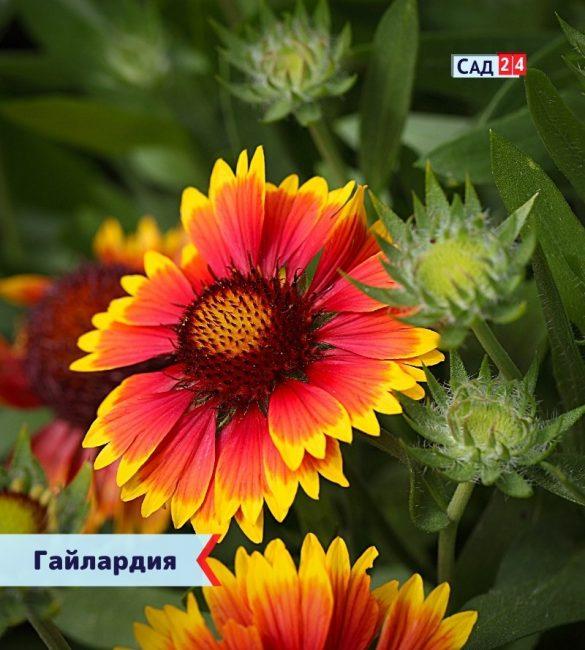 Гайлардия цветущие все лето