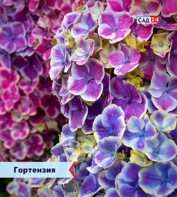 Гортензия цветущие все лето