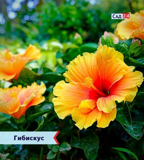 Гибискус цветущие все лето