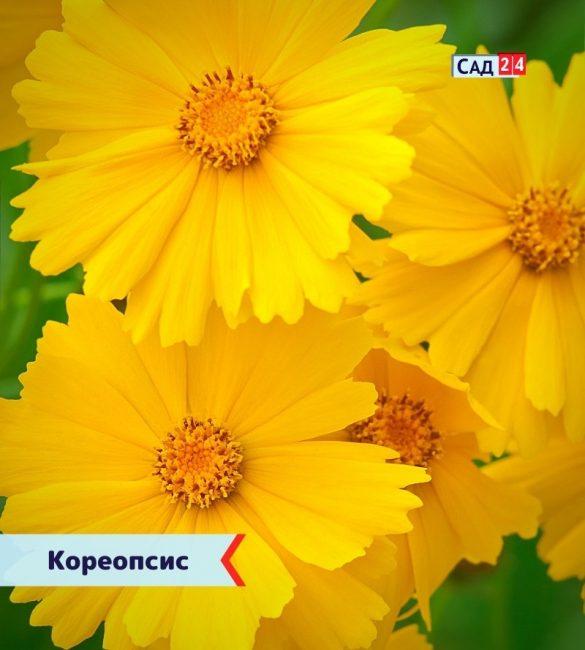 Кореопсис цветущие все лето