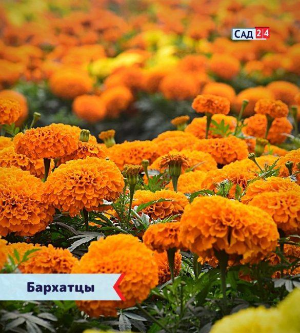 Бархатцы цветущие все лето