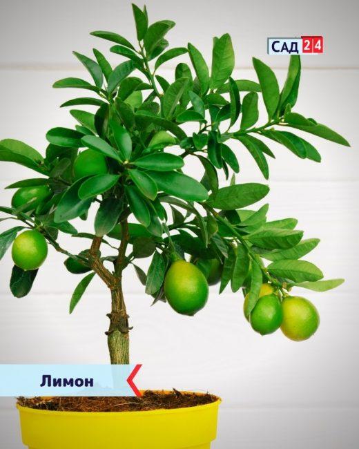 Лимон для дома