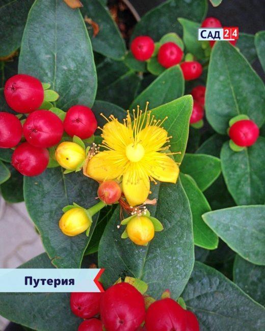 Чудесные ягоды деревья для дома
