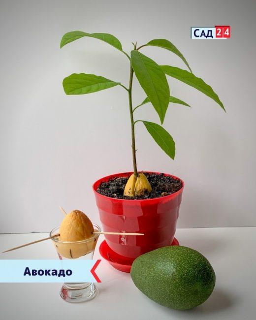 Авокадо для дома