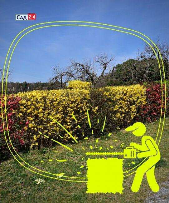 растения для вечнозеленых изгородей