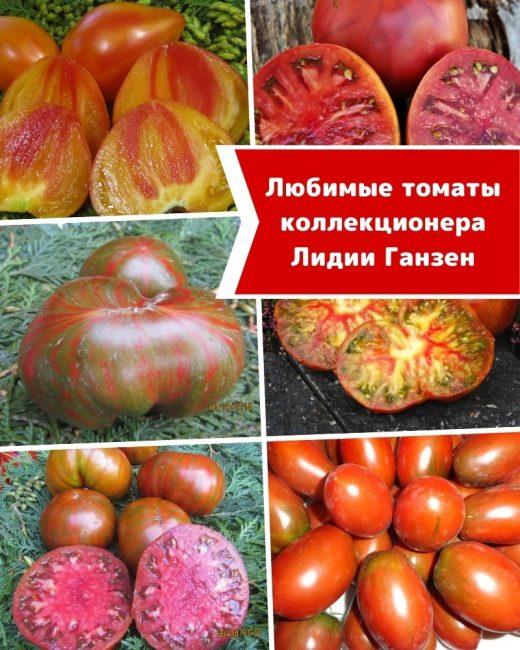 Любимые томаты эксперта и коллекционера Лидии Ганзен