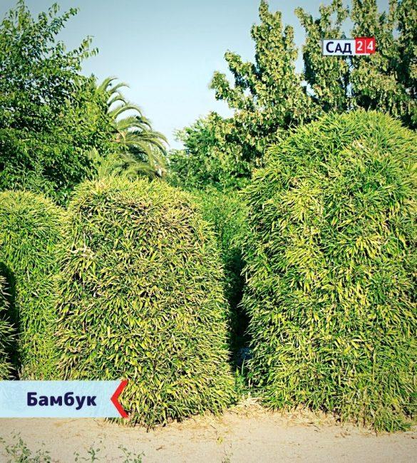 Бамбук - живая изгородь