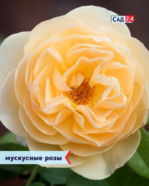 Гибридные мускусные розы