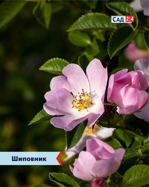 Шиповник роза