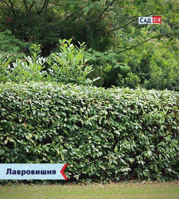 Лавровишня - живая изгородь