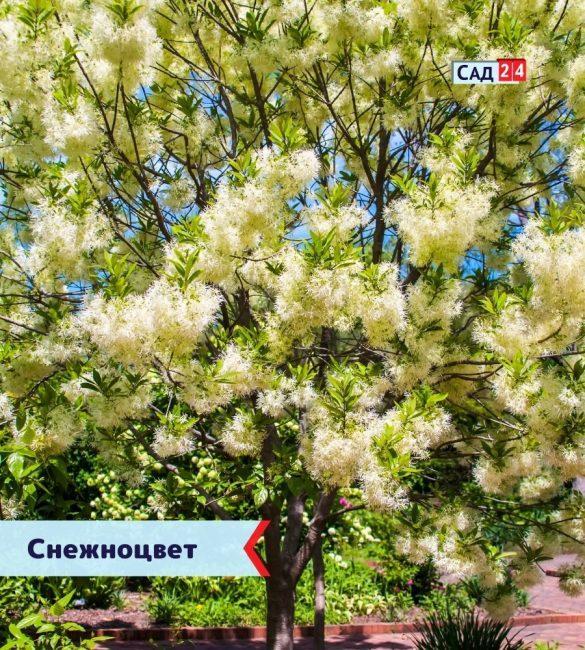 Снежноцвет (Хионантус виргинский)