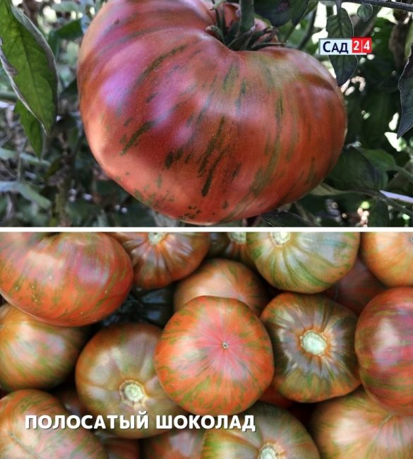 ТОМАТ Л.ГАНЗЕН ПОЛОСАТЫЙ ШОКОЛАД