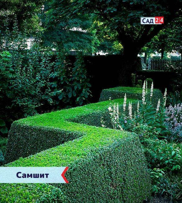 Самшит - живая изгородь