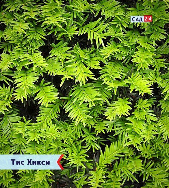 Тис Хикси - живая изгородь