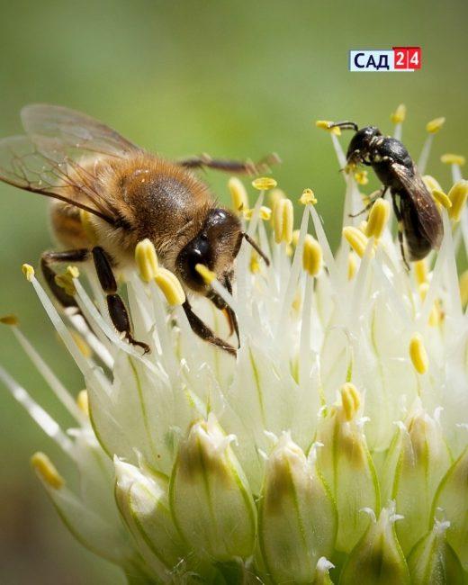 Пчелы и мухи опыляют сад