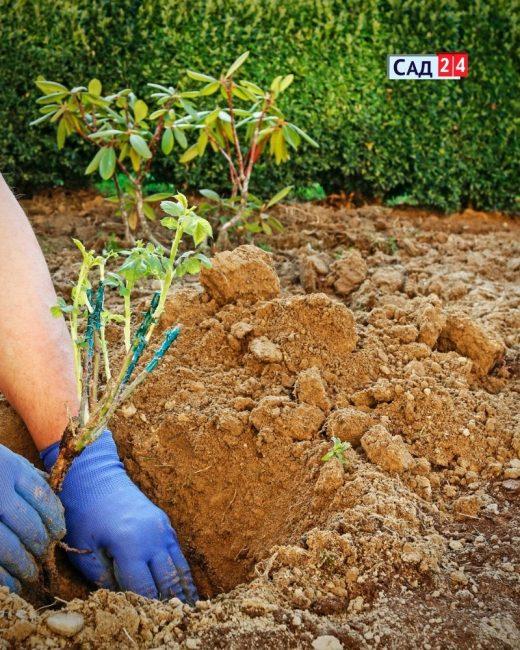 Рыхлая почва для розы