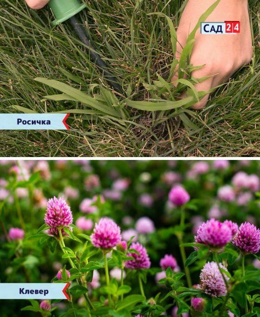 Росичка и клевер сорняки на газоне