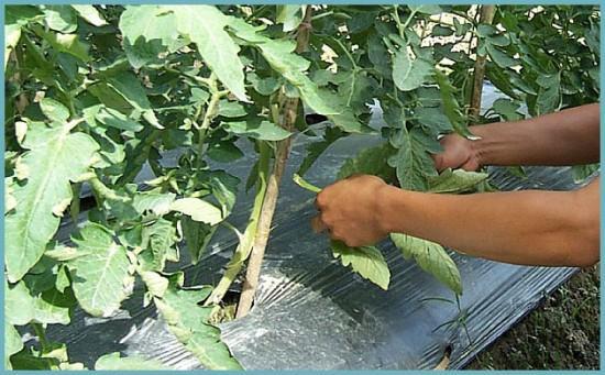какие дистья удалять с куста томатов