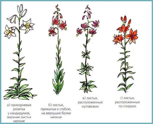 Схема: виды лилий по строению