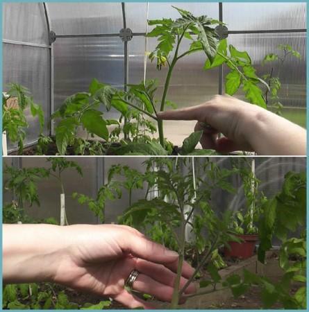 пасынки на кустах томата